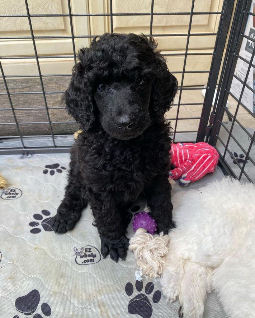 William Lipton Puppy 03